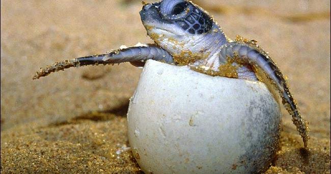 Mitos Dan Fakta Mengenai Telur Penyu