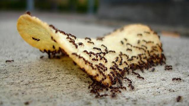 Usir Semut Di Rumah Dengan 4 Bahan Ini